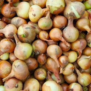 Onion Bulbs - Multiplier - Moose Jaw - Vegetable Garden - Keon Garden Centre