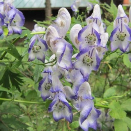 perennial-aconitum-cammarum-bicolor-monkshood-keon-garden-centre-moose-jaw.jpg