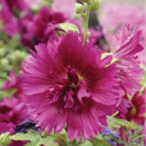 perennial alcea-hollyhock-queeny purple-keon-garden-centre-moose-jaw.jpg