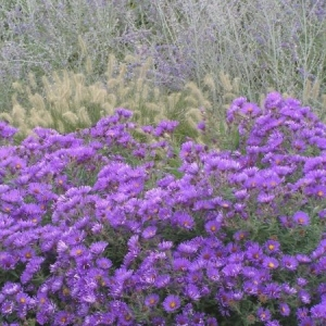 perennial-aster-purple-domekeon-garden-centre-moose-jaw.jpg