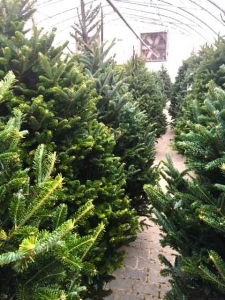 Christmas Trees For Sale - Moose Jaw- Keon Garden Centre